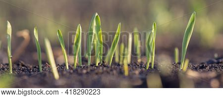 Sprouts Of Young Barley Or Wheat That Have Just Sprouted In The Soil. Close Up Panorama Of Sprouted