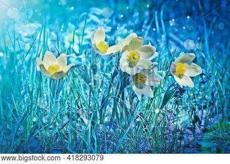 Yellow Spring Flowers Of Pasqueflower (pulsatilla Flavescens). Spring-flowering Plant. Festive Backg