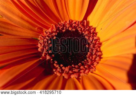 Close-up Images Of The Heart Of An Orange Gerber Daisy In The Sun Light