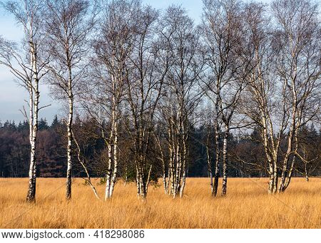 Birch Trees In A Grazing Area Of A National Park On Cold Winter's Day At High Noon. In The Backgroun