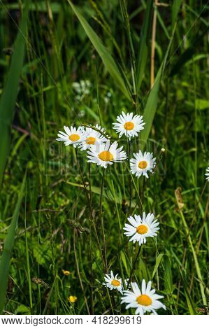 Close Up Of A Group Of Ox-eye Daisies In The Fields