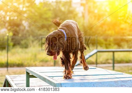 Scottish setter training on agility obstacle course outdoors