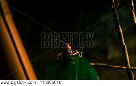 Close Up Of A Locust On A Green Leaf
