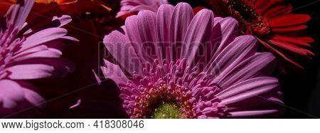 Close-up Images Of A Gerber Pink Daisy Close Up