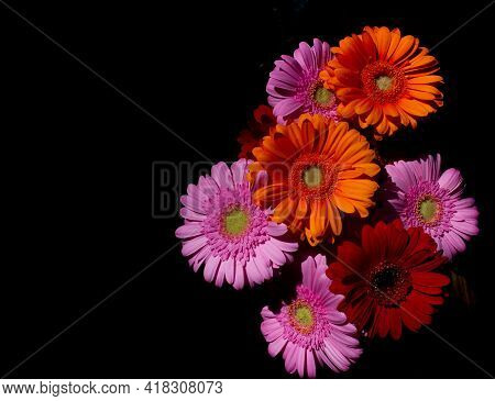 Top View Of Gerber Daisies Against A Black Background