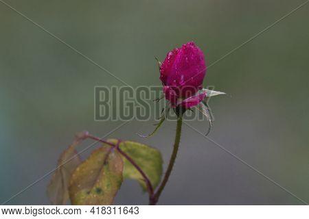 Dew Or Rain On Magenta Pink Rose Bud