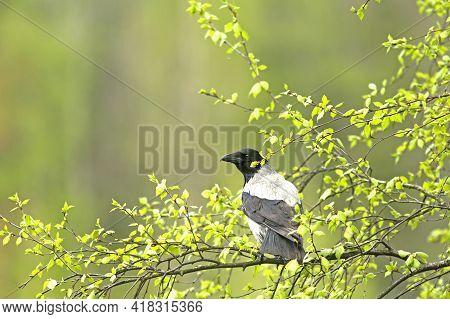 Hooded Crow (corvus Corone Cornix) Perched On A Branch Of Silver Birch (betula Pendula) With Beautif
