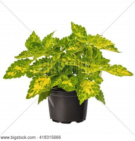 Potted Green Coleus Houseplant Isolated On White Background