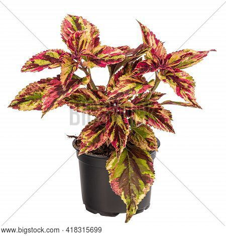 Multicolored Coleus Houseplant In Flowerpot Isolated On White Background