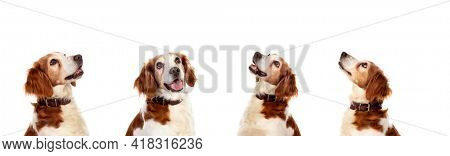 Four pensive equal dogs isolated on a white background