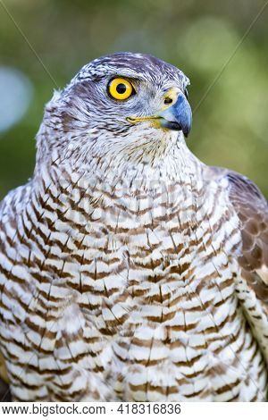 Northern goshawk perching, with colorfull forest background
