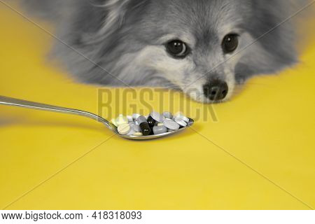A Spoon With Pills On The Background Of A Gray Sad Dog Of The German Spitz Breed On A Yellow Backgro