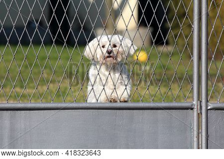Sad Small White Maltese Dog Looking Through Newly Painted Grey Metal Fence Waiting For Owners At Fam