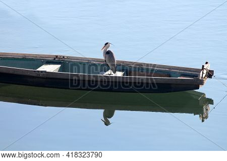 Young Long Legged And Long Necked Freshwater Coastal Heron Bird With Soft Light Grey And White Feath
