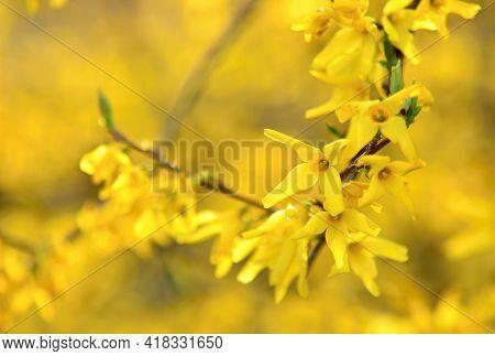 Blooming Forsythia Intermedia In Spring Season, Close Up Of Blooming Forsythia Intermedia Branches.