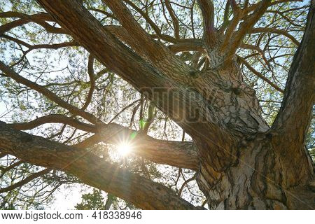 Tree branches and sun shine. Bottom view on crown.