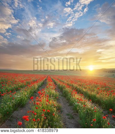 Rows of poppies flowers at sunset. Agricultural and landscape nature composition.