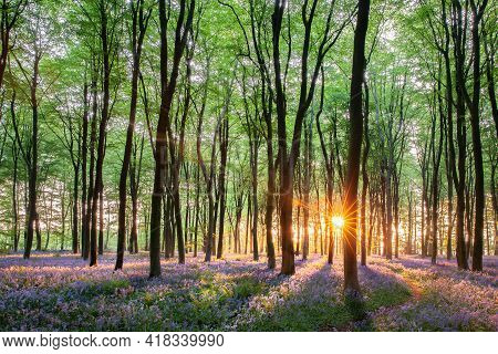 Stunning Bluebell Woods In Norfolk England. Sunrise Streaming Through The Spring Forest Trees And Pa