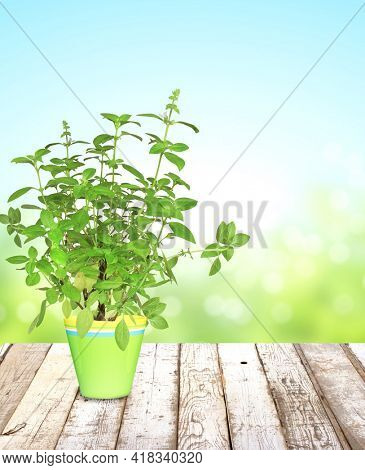 Branch of Lemon basil (Ocimum africanum) in flowerpot on wooden table top and abstract nature background. Aromatic herb Thai lemon basil in flower pot on rustic wood tabletop. Copy space for text