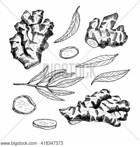 Ginger Root Outline Vector Set. Hand Drawn Ginger Plant With Leaves And Cut Slices Illustration. Bla