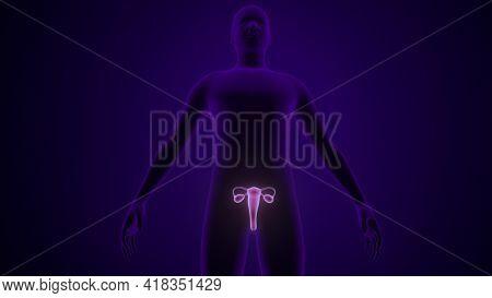 Human Female Reproductive System Anatomy. 3d Illustration