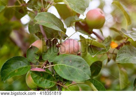 Organic Apples Growing On The Apple Tree. Close-up