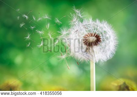 Dandelion seeds in the sunlight blowing away across a fresh green morning background springtime and nature concept