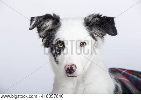 Close Up Of The Eyes Of A Border Collie Puppy. Lovely Border Collie Puppy