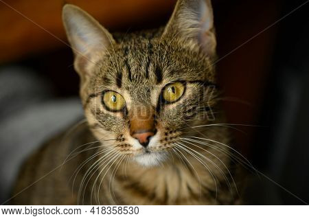 Portrait of young european shorthair breed cat's head, shallow DOF, focus at left eye