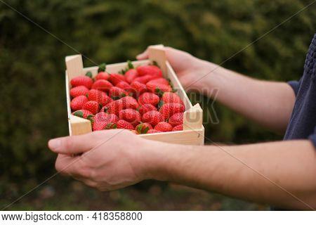Strawberry Season. Organic Farmed Berries. Strawberry Box In Male Hands On A Blurred Green Garden Ba