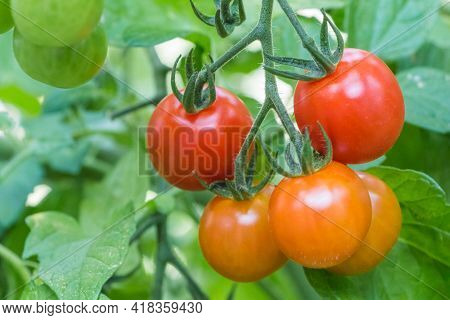 Bush Of Tasty Colorful Summer Bio Tomatoes At Garden Greenhouse. Delicious Fresh And Juicy Vegetable