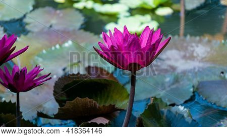 Beautiful Magenta Flower With Leaves Floating On Pond As Background