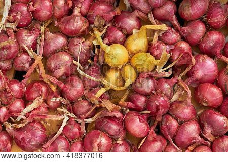A Portion Of Purple And Yellow Onions. Onion After Harvest In Farm. Harvested Onions Different Varie