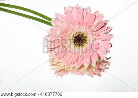 Gerber The Very Nice Pink Flower On The Mirrror