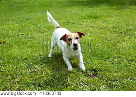 Happy Active Jack Russell Puppy Running On The Grass In Summer. Dogs Of This Breed Are Very Active A