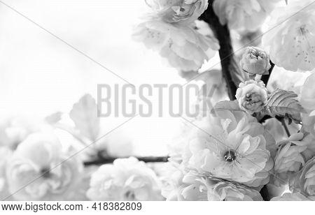 Floral Backdrop. Botanical Garden Concept. Tender Bloom. Aroma And Fragrance. Spring Season. Tendern
