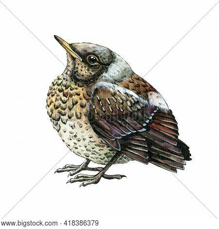 Starling Bird Small Chick. Baby Bird Thrush Watercolor Illustration. Common Thrush Backyard Avian. I