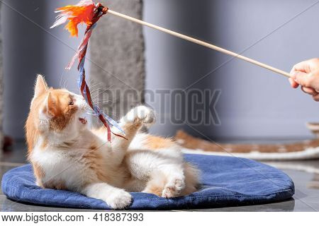 A Fluffy Red And White Cat Is Lying On The Mat And Playing With A Toy On A Stick. Indoor Cat, Close-