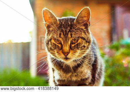 Mixed Bengal Cat. Feline, Background. Relaxed Domestic Cat At Home, Outdoor. Portrait Of A Beautiful