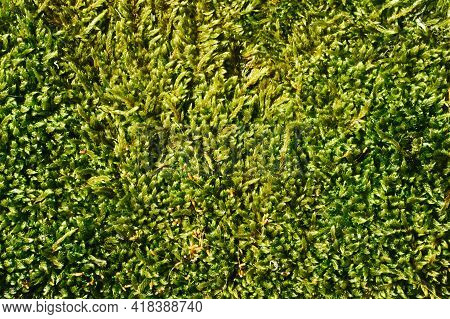Green Moss Closeup Texture. Forest Ground Macro Background. Moss Growing On Stone. Turf Texture. Fol