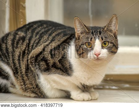 Striped And White Interesting Shorthair Cat Close Up