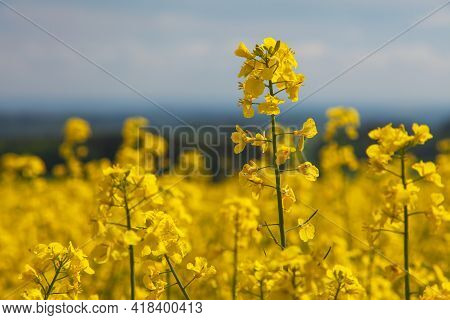 Detail Of Golden Flowering Field Of Rapeseed Canola Or Colza In Latin Brassica Napus - Rape Seed Is