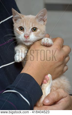 Small Peach And White Cat In Hands With Snot. Feline Rhinotracheitis