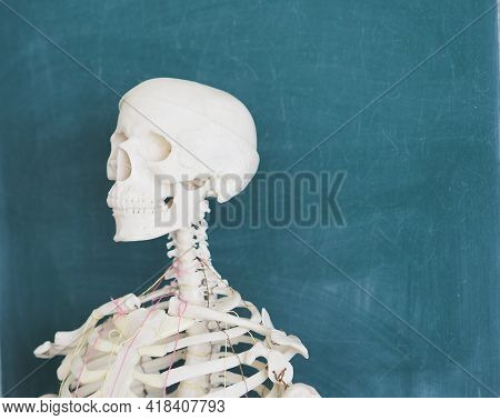 Educational Model Of A Human Skeleton On The Background Of A School Blackboard. Human Anatomy. The S
