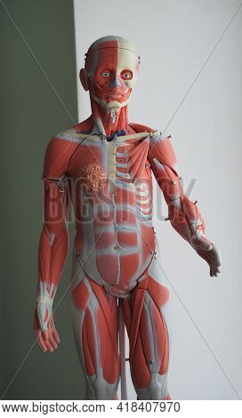 Educational, Three-dimensional Model Of The Human Muscular System. The Muscles Of The Human Body. Sc