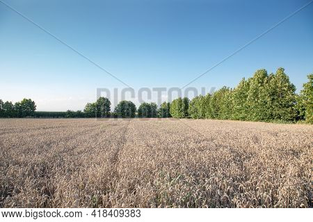 A Field Of Ripe Wheat With Sun Rays