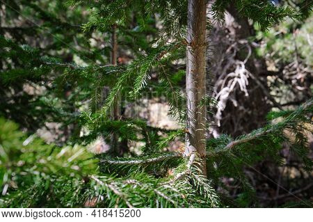 Close-up Of Yong Green Larch Tree In Forest