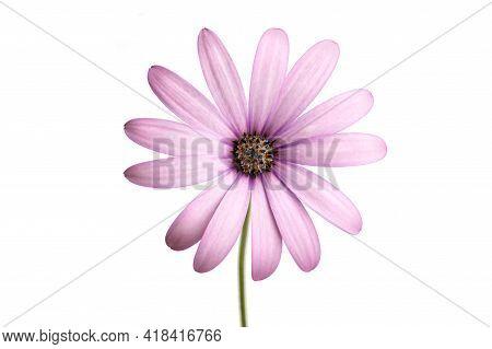 Purple Cape Marguerite Flower Isolated On White Background. Dimorphotheca Ecklonis