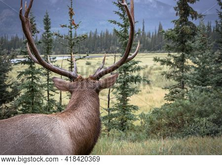 Close Up Of A Wapiti Elk Bull, Looking Away From The Camera, On A Cloudy, Rainy Day In Canadian Rock