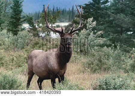 Wapiti Elk Bull On A Rainy Day In Canadian Rockies. Cervus Canadensis In Jasper National Park, Alber